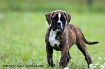Barolo 9 Wochen alt